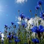 Le bleuet : fleur symbole du Souvenir dans GUERRE 1914 - 1918 champbleuet-150x150