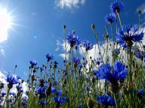 le bleuet fleur symbole du souvenir au fil des mots et de l 39 histoire. Black Bedroom Furniture Sets. Home Design Ideas