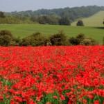 Le coquelicot : fleur symbole du Souvenir dans GUERRE 1914 - 1918 poppiesfield-150x150