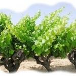 Quand le Vin se met au service de l'Amour ! dans AU FIL DES MOTS cepsvigne-150x150