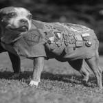 Sergent Stubby dans GUERRE 1914 - 1918 sergentstubby-150x150
